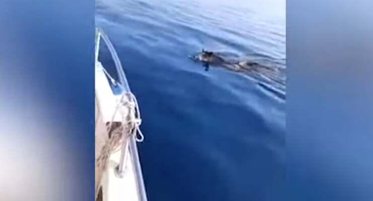 Cinghiali in mare avvistati a 5 miglia dalla costa (Screen Video)