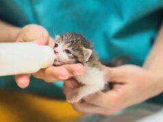 Hai trovato dei piccoli gatti e non sai come nutrirli? Ecco come dare a mangiare a un gattino con il biberon