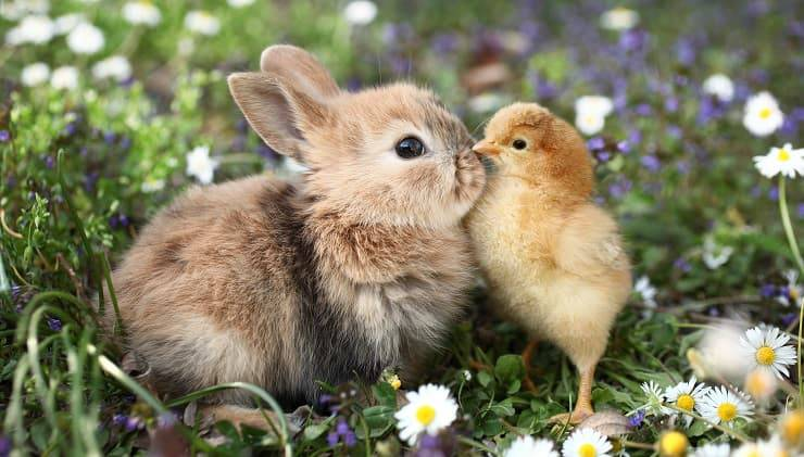 bacio coniglio pulcino