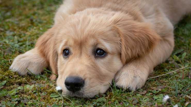 Cucciolo triste (Foto Pixabay)