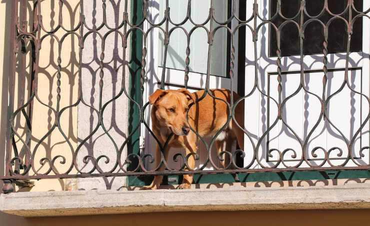 cane balcone bologna