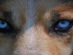 Il cane e le pupille dilatate