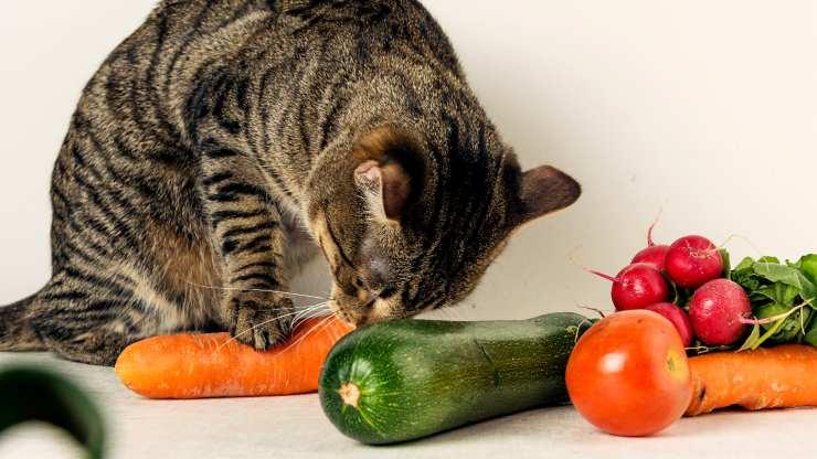 gatto può mangiare zucchine