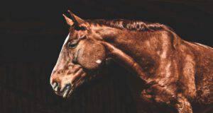 Ulcera gastrica nell'equino