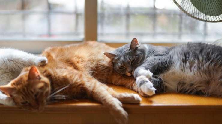 i gatti non sono asociali