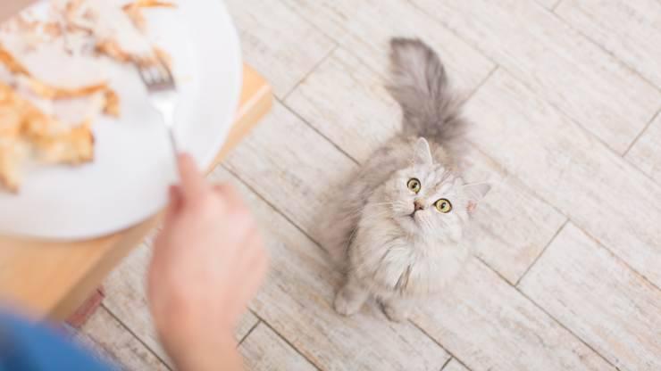 insegnare al gatto a non chiedere cibo