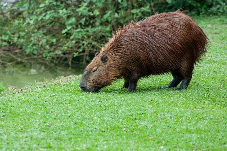 Come avere il capibara in casa