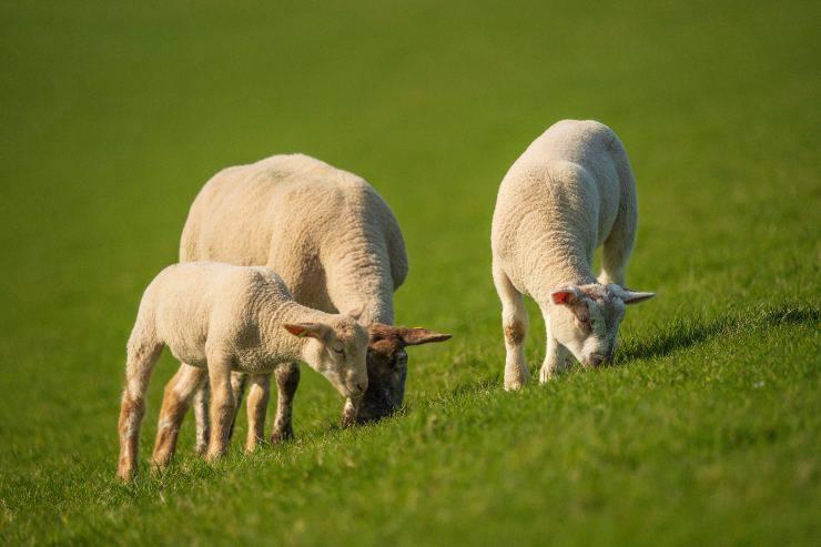 Il cibo per le pecore