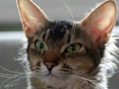 laperm shorthair malattie comuni