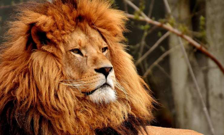 Perché il leone ha la criniera