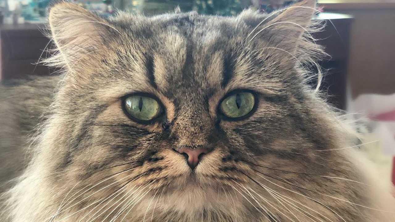 minuet longhair curiosità