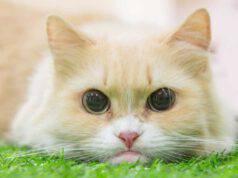 munchkin gatto
