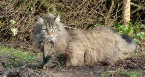 gatto nordico