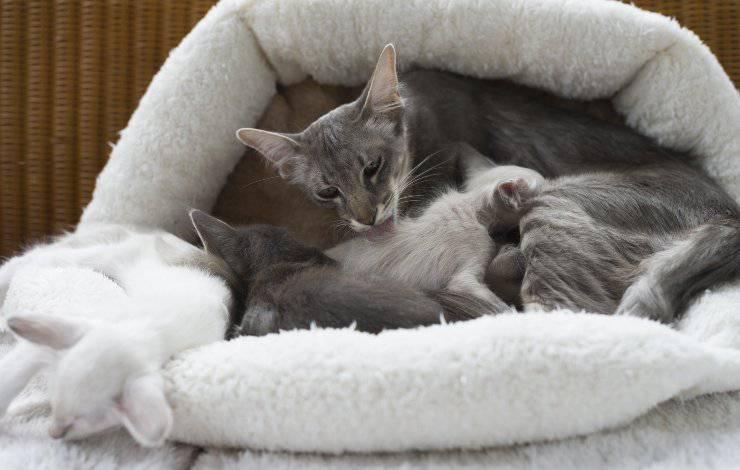 gatti razza orientale longhair