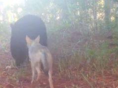 Orso e coyote (Foto video)