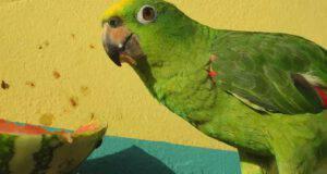 pappagallo può mangiare anguria