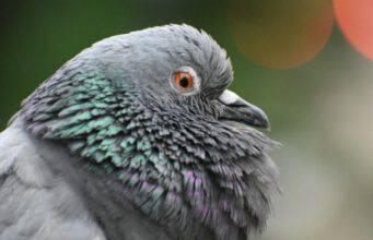 pappagallo si gonfia