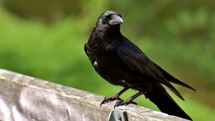 perché corvi gracchiano