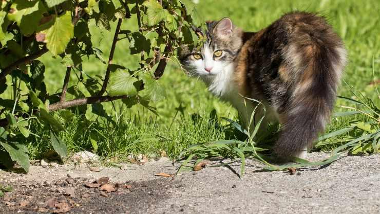 perché i gatti camminano davanti alle nostre gambe a zig-zag