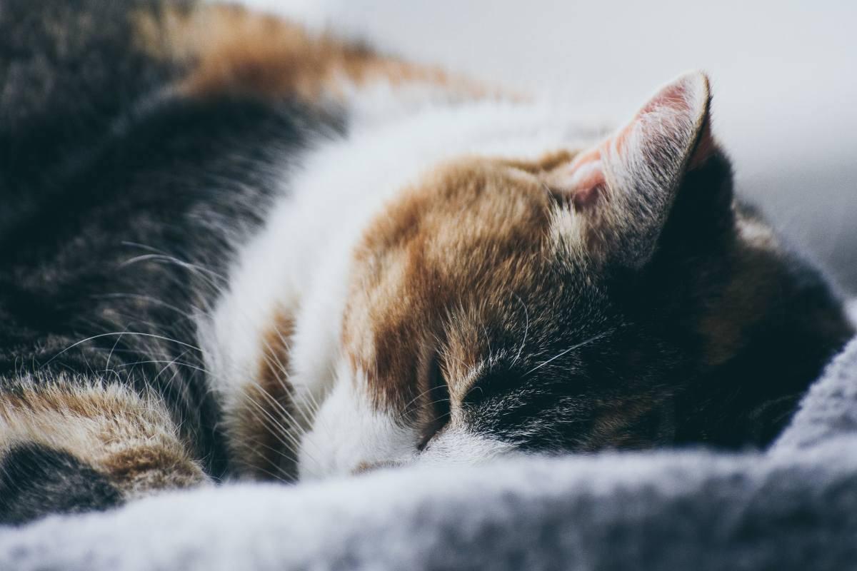 Dermatomiosite nel felino