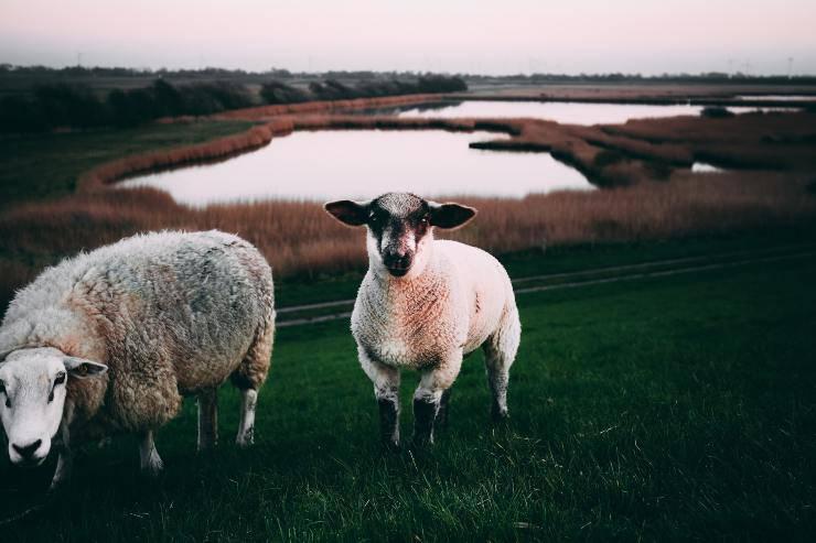 La dieta delle pecore