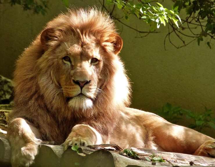 Il leone e la criniera