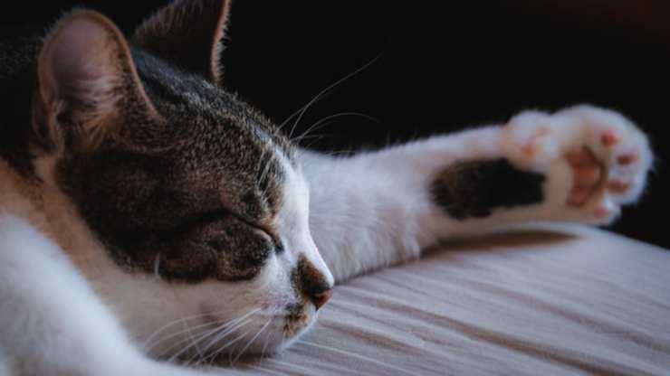pododermatite nel gatto