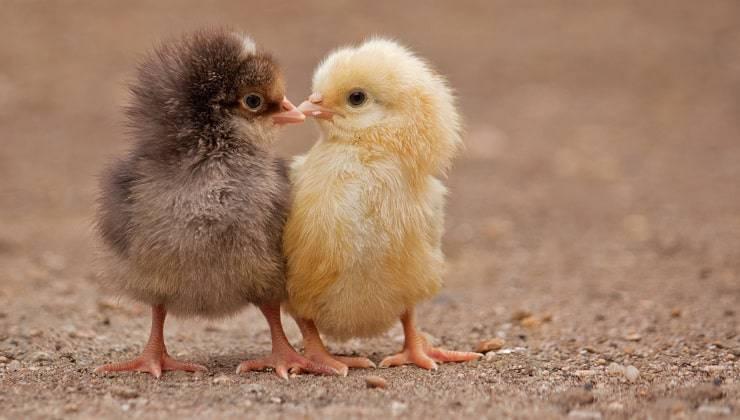 pulcini bacio tra animali