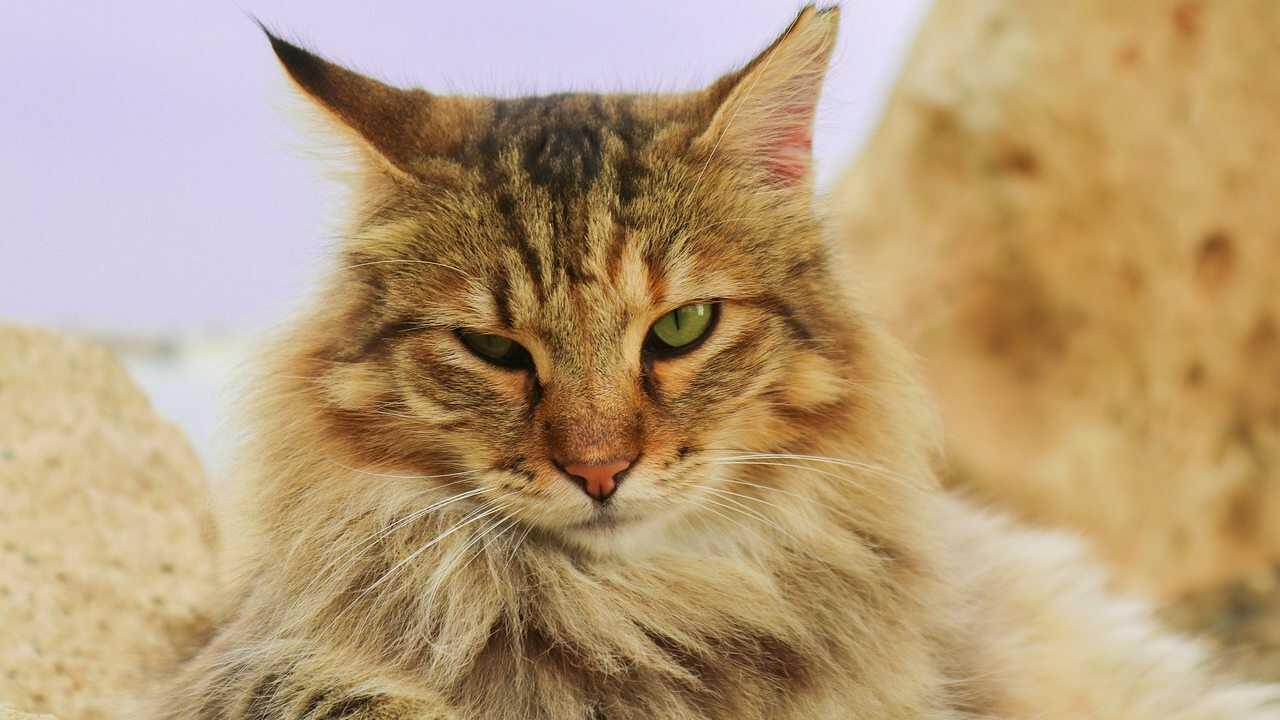 quanti peli hanno i gatti