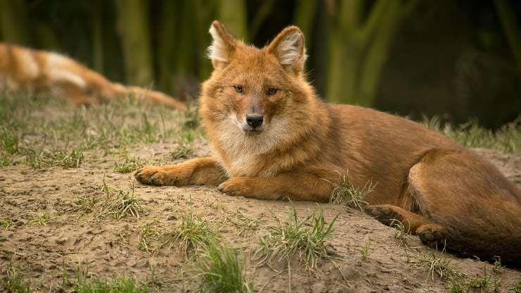 razze cani sembrano volpi