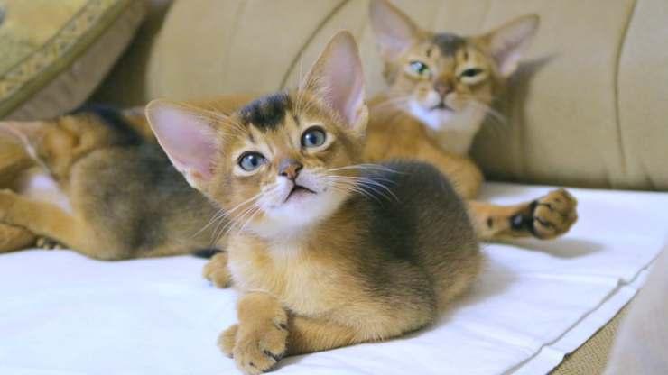 razze gatti meno longevi