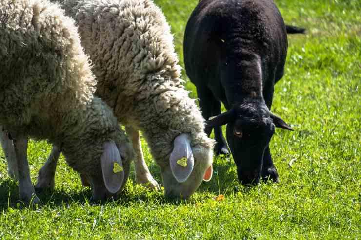 Cosa mangiano le pecore