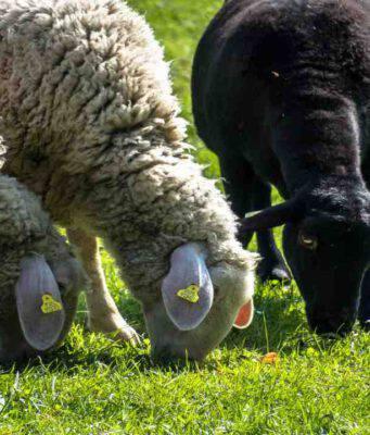 Le pecore e l'alimentazione