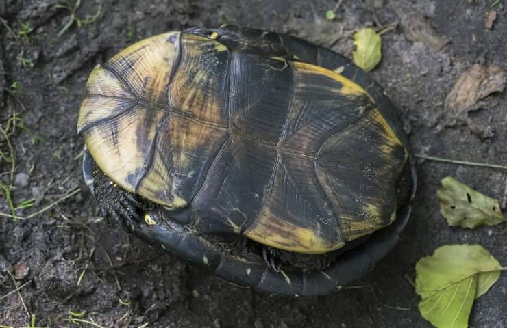 tartaruga capovolta