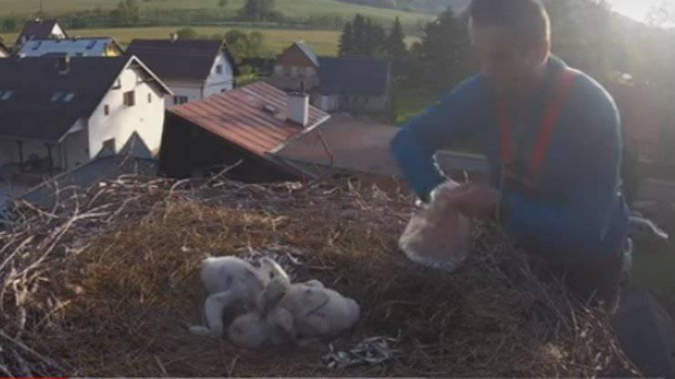 Un aiuto per i cuccioli di cicogna (Foto video)