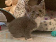 Gattino senza coda (Screen Facebook)