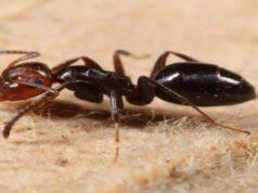 Nuova specie formiche scoperta (Screen Facebook)