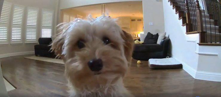 cane sente voce proprietario