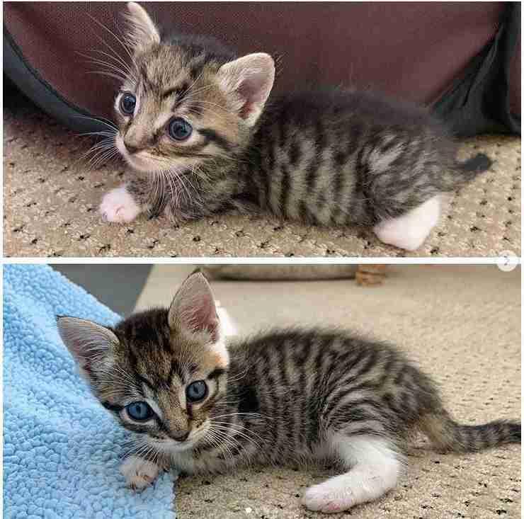 gattino tre zampe video