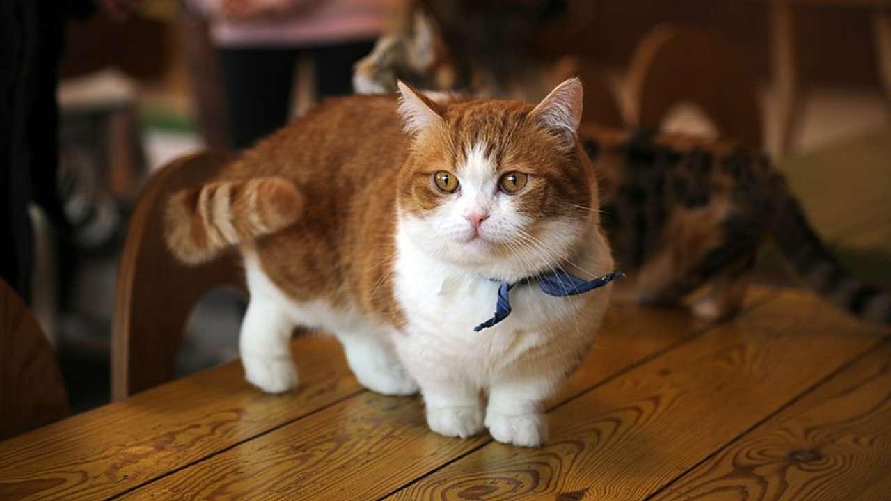 Acondroplasia nel gatto
