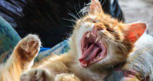 Quanti denti hanno i gatti
