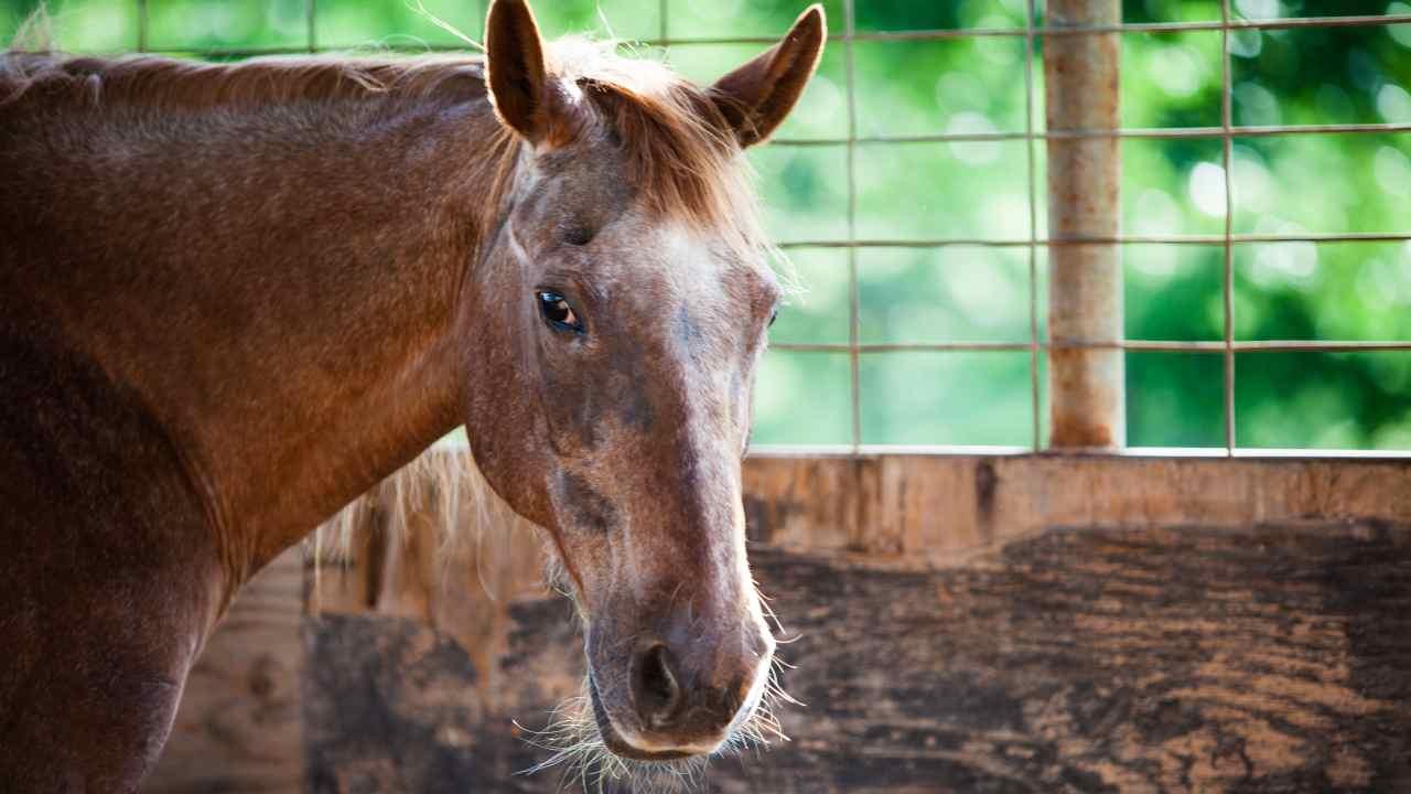 Il cavallo più longevo di sempre