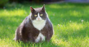 Bulimia nel gatto