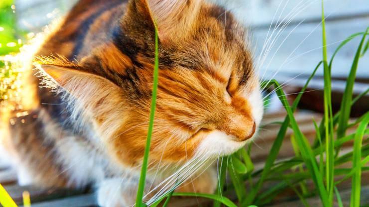 Come dare l'erba gatta al gatto