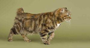 Sindrome di Manx nel gatto