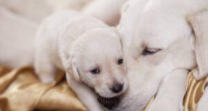 Cucciolo di cane è in grado comunicare con la madre durante la gravidanza