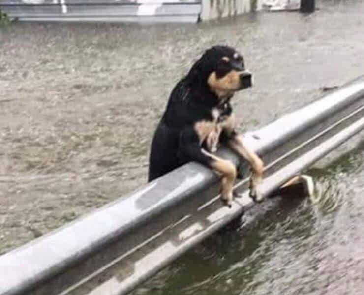 Cagnolino in difficoltà durante l'alluvione che ha colpito la Germania (Screen Facebook)