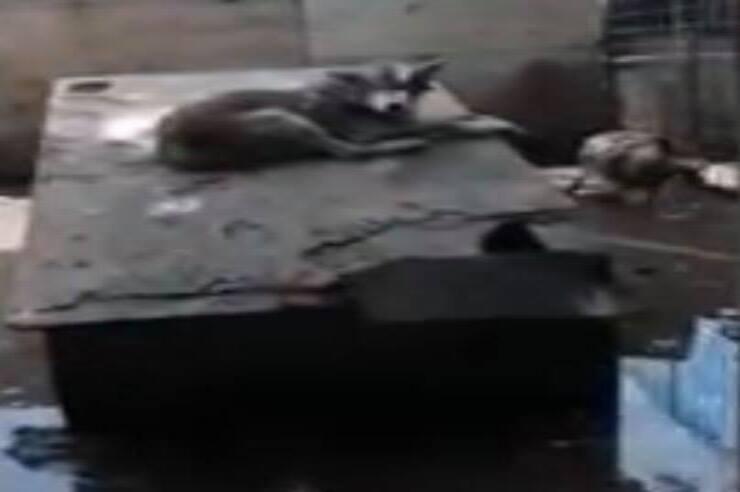 Cani lupo salvati (Screen video Facebook)