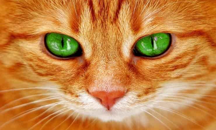Gatto occhi verdi (Pixabay)
