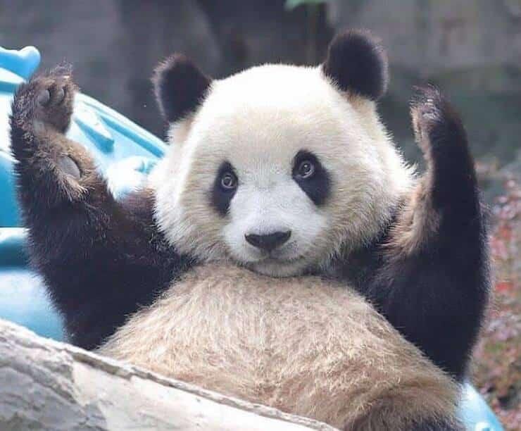 Panda (Screen Instagram)